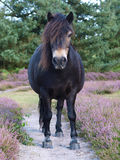 Wild ponny Royaltyfri Fotografi