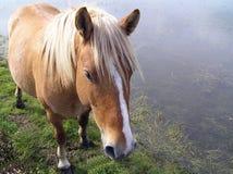 wild ponny Arkivfoto