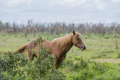 Wild ponny Arkivbild