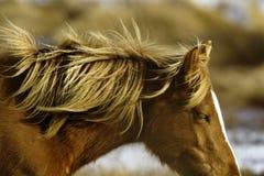 Wild ponny Royaltyfria Foton