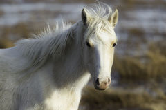 Wild ponny Royaltyfri Foto