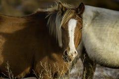 Wild ponny Arkivbilder