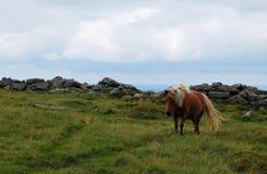 Wild ponny in Dartmoor National Park. Royalty Free Stock Photo
