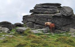 Wild ponny in Dartmoor National Park. Stock Photo