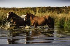 wild ponnyer Royaltyfri Foto