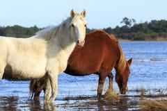 wild ponnyer Royaltyfri Bild