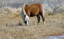 Wild Chincoteague ponny Arkivbild