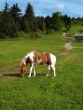 Wild Pony – Grayson Highlands State Park. Wild pony grazing on grass located in Grayson Highlands State Park, southwest Virginia, USA Stock Photos