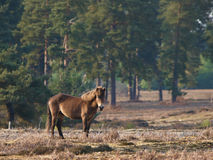 Wild Pony Stock Photos