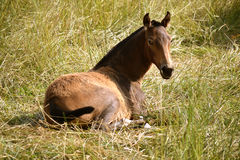 Wild Pony. A cute wild pony enjoying the sun in the middle of the hay royalty free stock image