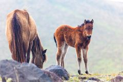 Wild pony at andes royalty free stock images
