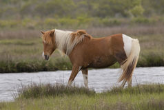 Wild Pony of Assateague Stock Photography