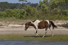 Wild Pony of Chincoteague Royalty Free Stock Image