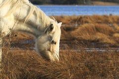 Wild Pony Stock Photography