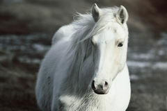 Wild Pony Royalty Free Stock Images