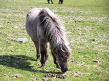 Wild Pony in Dartmoor Devon UK stock photos