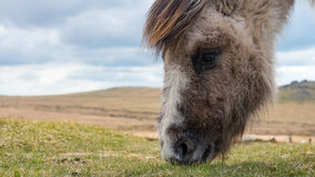 Wild pony on Dartmoor Royalty Free Stock Image