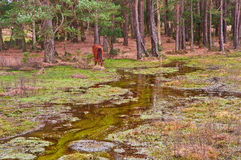 Wild pony on edge of forest and flooded swamp Royalty Free Stock Photo