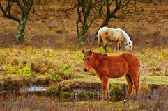 Wild pony at edge of stream Royalty Free Stock Photos