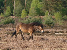 Wild Pony Stock Images