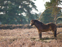 Wild Pony Royalty Free Stock Photos