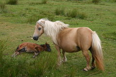 Wild Pony With Foal. Beautiful wild pony and her foal in the Lakeland Fells Stock Image
