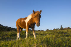 Wild Pony in Grayson Highlands State Park, Virginia royalty free stock photos