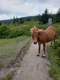 Wild Pony Grayson Highlands Virginia State park stock photography