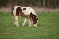 Brown and white Wild pony Royalty Free Stock Photos