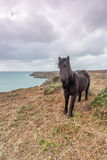 Wild pony near logans rock in Cornwall england uk. Stock Photography