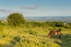 Wild pony Quantock Hills Somerset England UK countryside views on a summer evening. Wild pony grazing Quantock Hills Somerset England UK countryside views on a royalty free stock photo