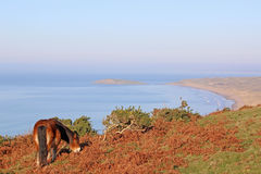 Wild pony, Rhossili Stock Photography