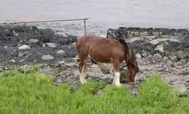 Wild Pony on River Bank Stock Photo