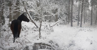 Wild pony in snow covered forest Royalty Free Stock Images