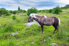 Wild Pony Stallion Mustang Grayson Highlands VA Royalty Free Stock Images