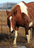 Wild Pony Stares. Wild pony at Chincoteague National Wildlife Refuge stares at the camera Stock Image