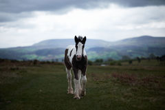 Wild pony, on a welsh mountain Royalty Free Stock Images