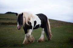 Wild pony, on a welsh mountain. Wild white horse, on a welsh mountain, brecon beacons national park Royalty Free Stock Photos