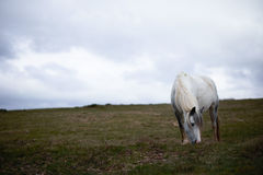 Wild pony, on a welsh mountain. Wild white horse, on a welsh mountain, brecon beacons national park Stock Photography