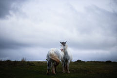 Wild pony, on a welsh mountain Stock Photo