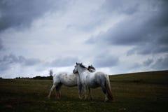 Wild pony, on a welsh mountain. Wild white horse, on a welsh mountain, brecon beacons national park Stock Image
