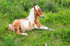 Wild Pony Colt Grayson Highlands VA Stock Images