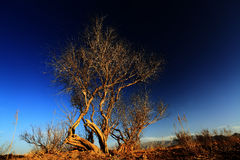 Wild poplar under sunset Royalty Free Stock Photo