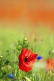 Wild poppies Royalty Free Stock Photos