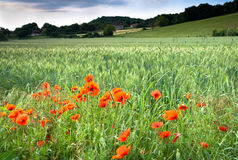 Wild poppies royalty free stock image