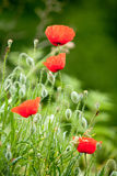 Wild poppies royalty free stock photography