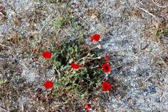 Wild poppies on the barren rocks Royalty Free Stock Photo