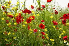 Wild poppies. Blooming on the field stock photo