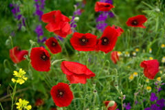 Wild poppies. Blooming on the field Stock Photos