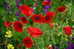 Wild poppies stock photos